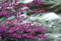Redbud over the Merced River