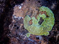 Lichen as Gecko